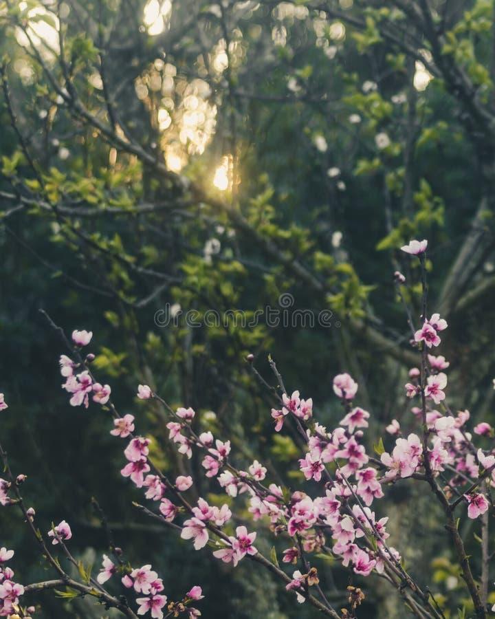 Вишневые цвета на восходе солнца стоковая фотография rf