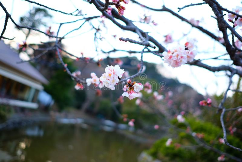 Вишневые цвета Сакуры в Японии стоковые изображения