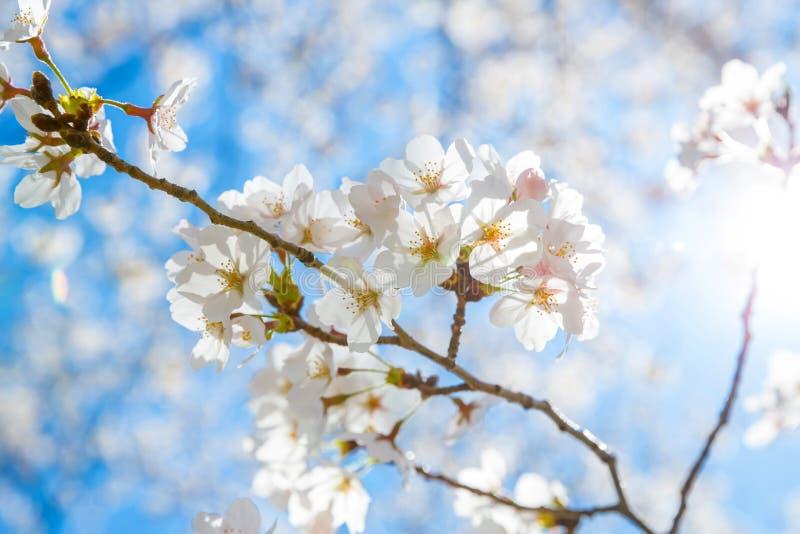 Вишневые цвета Сакуры стоковая фотография rf