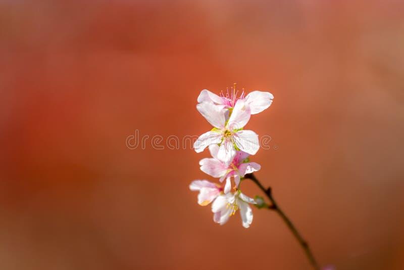 Вишневые цвета Сакуры стоковое изображение