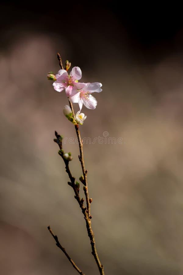Вишневые цвета Сакуры стоковые фото