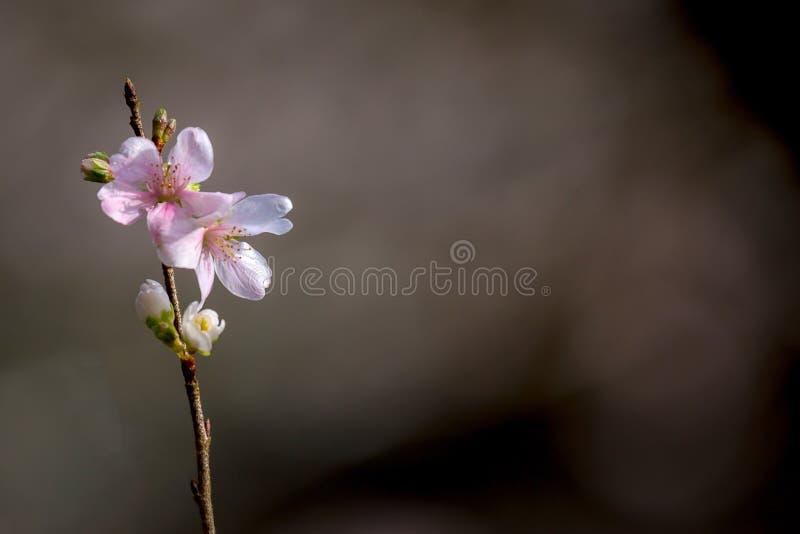 Вишневые цвета Сакуры стоковое фото