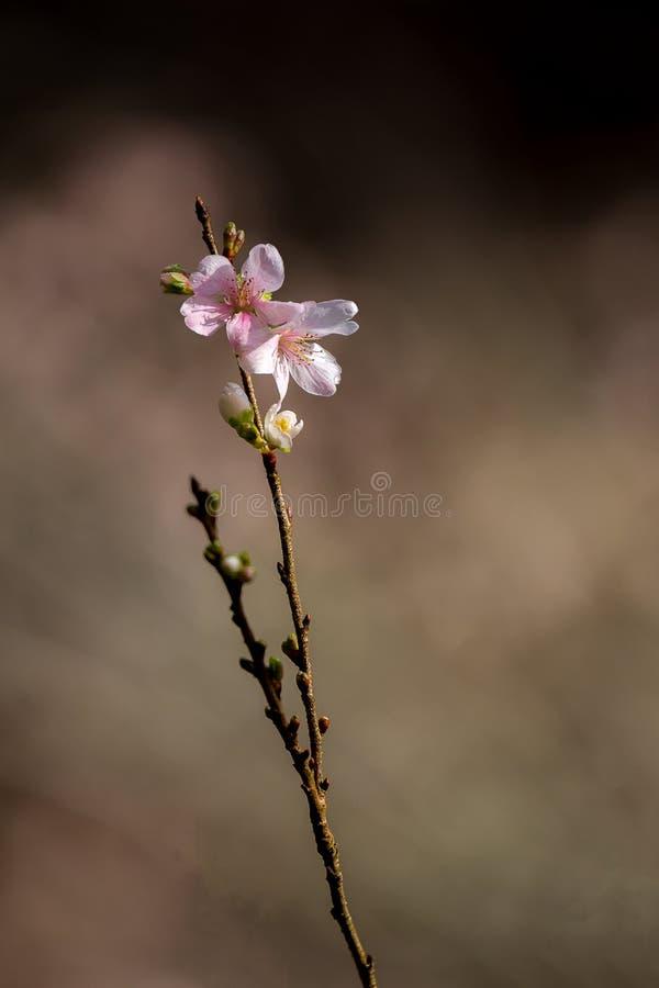 Вишневые цвета Сакуры стоковые фотографии rf