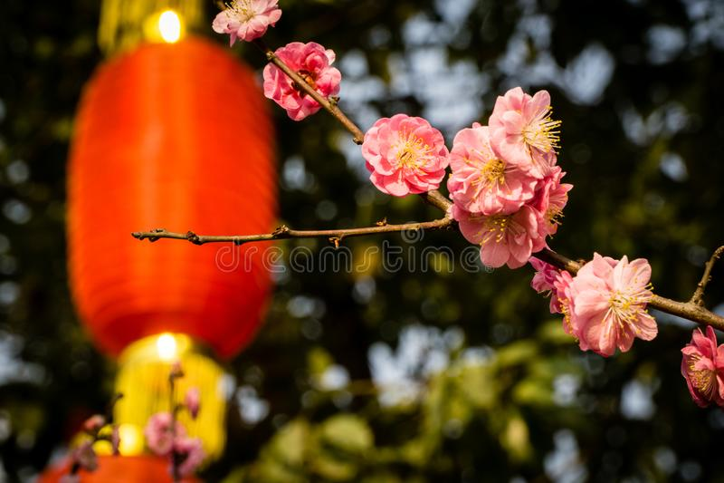 Вишневые цвета с китайскими красными фонариками стоковые фото