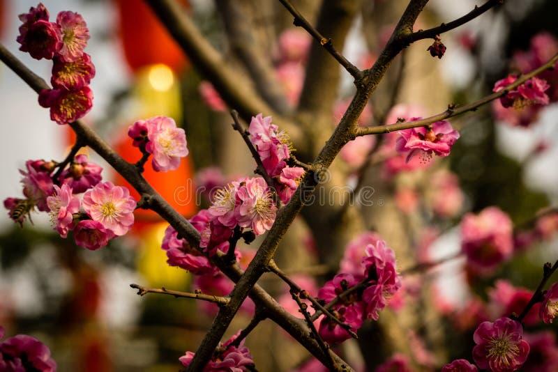 Вишневые цвета с китайскими красными фонариками стоковая фотография rf