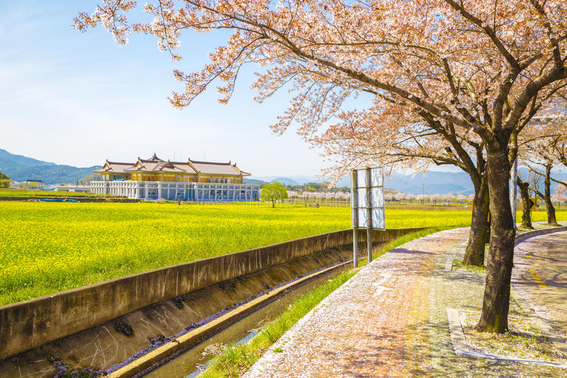 Вишневые цвета с цветками рапса на весне стоковая фотография rf