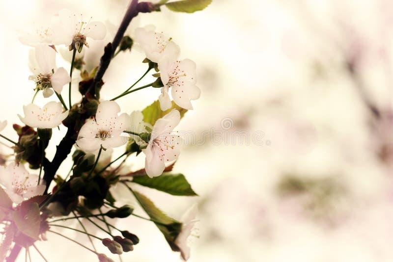 Вишневые цвета стоковое фото rf