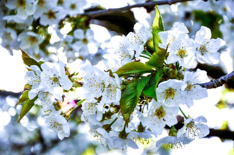 Вишневые цвета 1 стоковая фотография rf