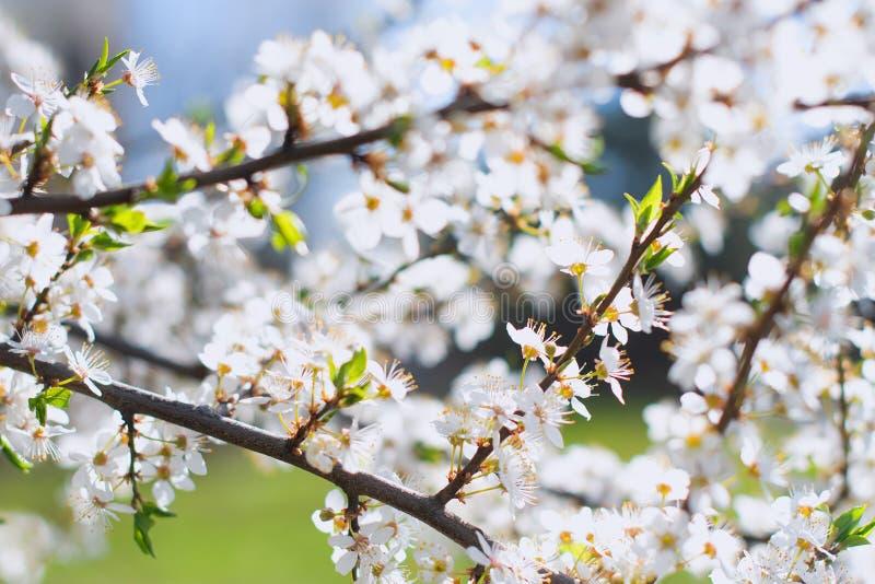 Вишневые цветы стоковое фото