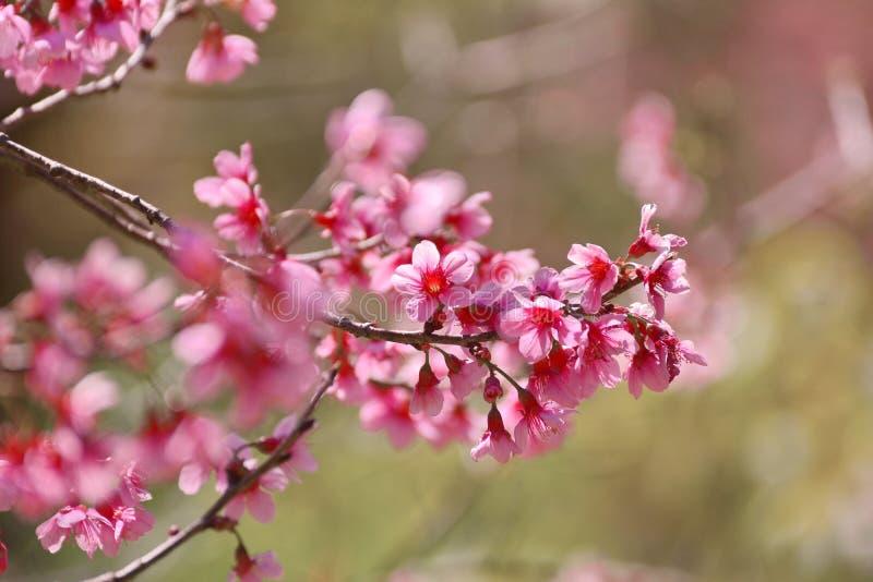 Вишневый цвет весной, стоковые фото