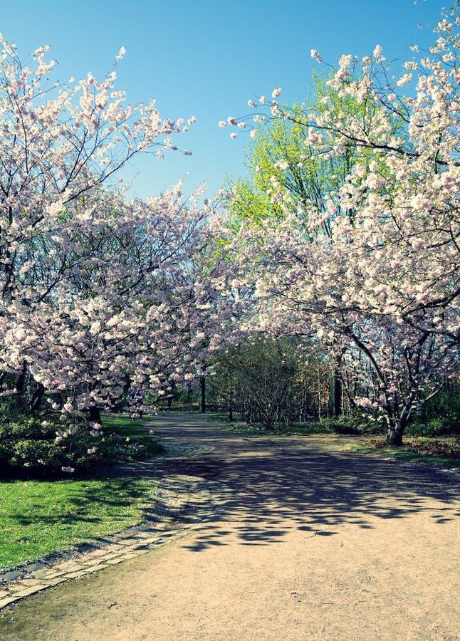 вишневый цвет весной стоковое фото rf