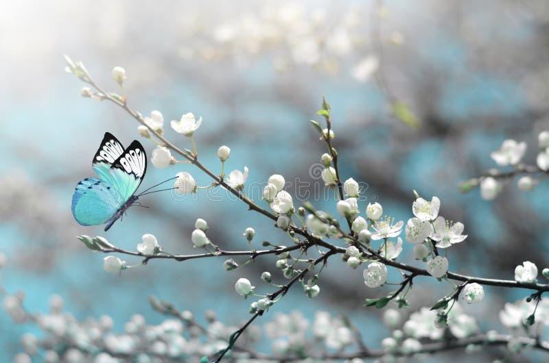 Вишневый цвет в одичалом и бабочке Весеннее время стоковая фотография