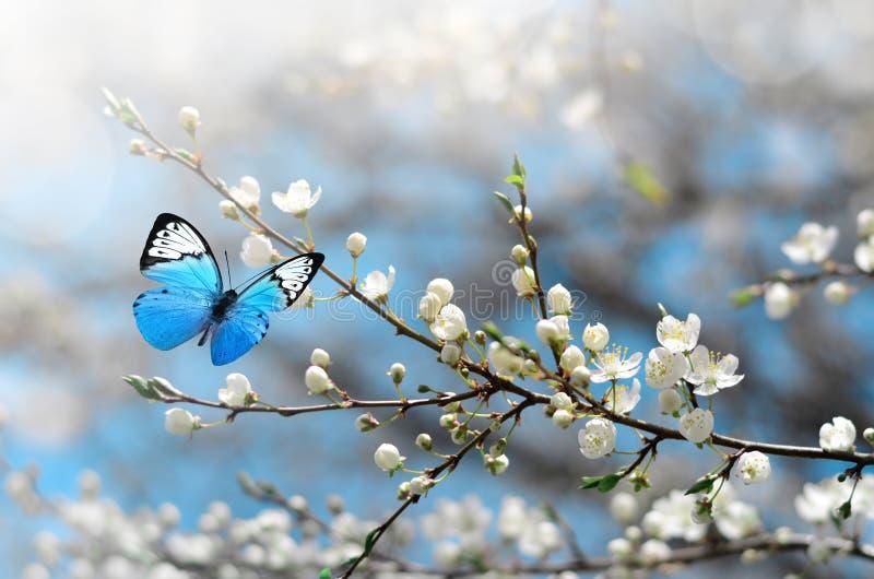 Вишневый цвет в одичалом и бабочке Весеннее время стоковое фото