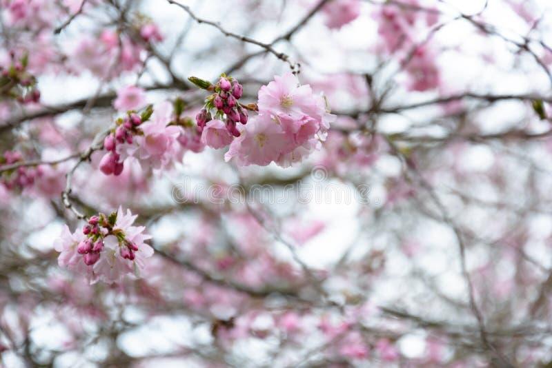 Вишневый цвет в парке готенбургский сведен стоковое изображение rf