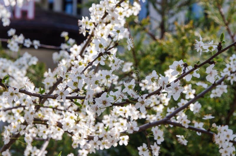 Вишневый цвет в саде стоковая фотография rf