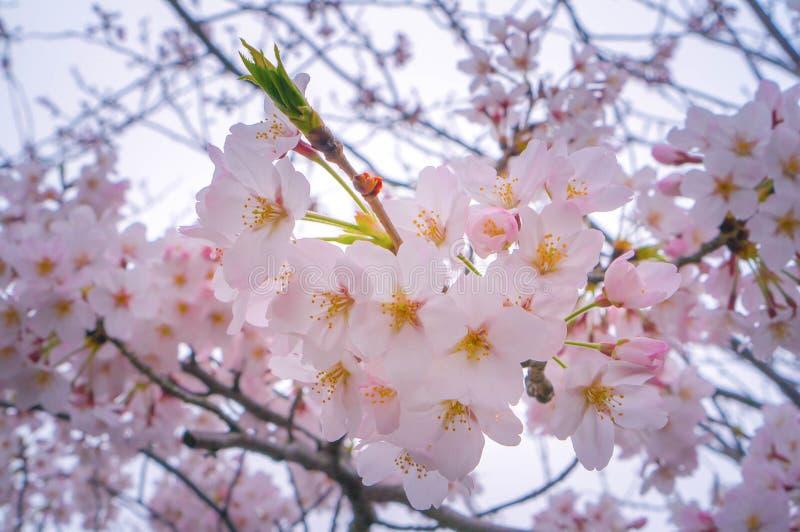 Вишневый цвет или Сакура цветут весной время, крупный план предпосылки природы стоковое изображение rf