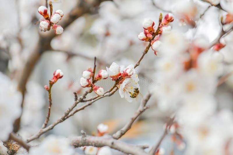 Вишневый цвет и пчела стоковые фото