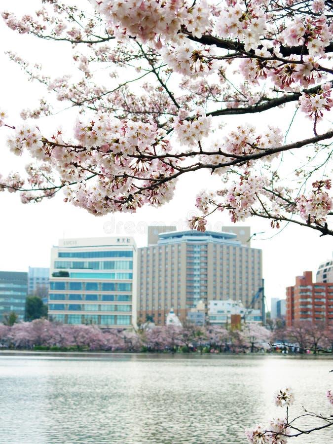 Вишневый цвет на Японии стоковое изображение rf