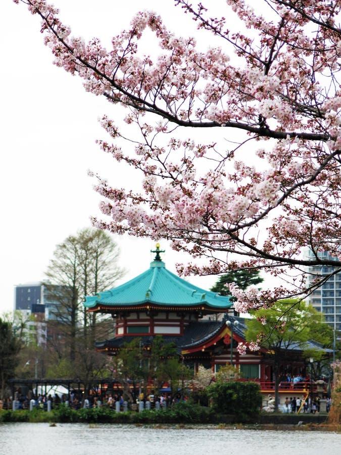 Вишневый цвет на Японии стоковая фотография