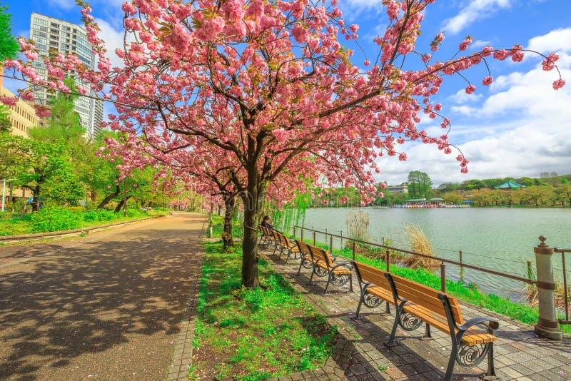 Вишневый цвет парка Ueno стоковое изображение rf