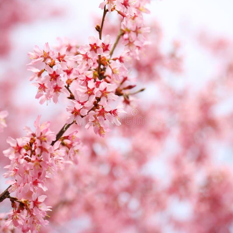 Вишневый цвет. Сакура в весеннем времени стоковая фотография