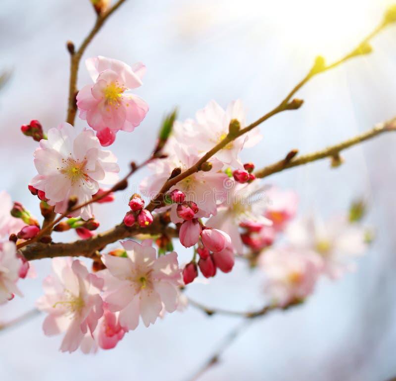 Вишневый цвет. Сакура в весеннем времени стоковые изображения
