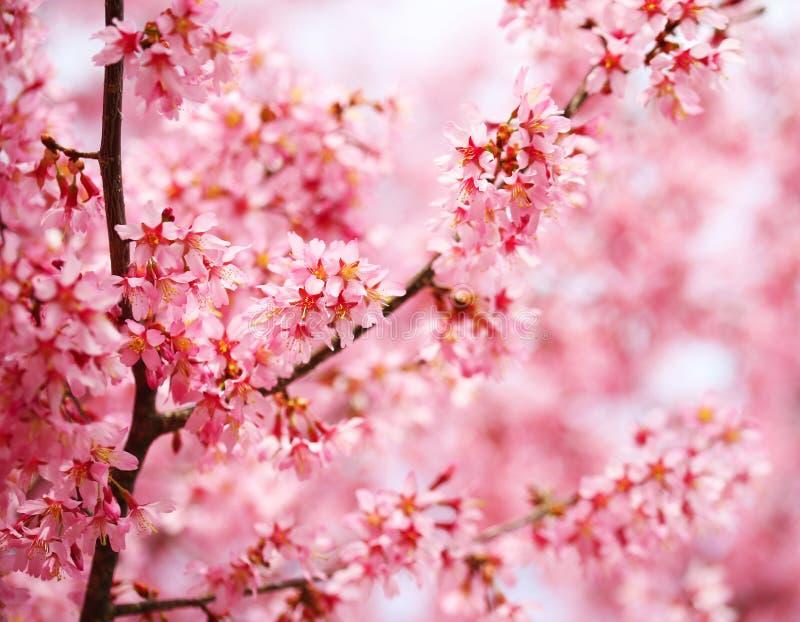 Вишневый цвет. Сакура в весеннем времени. стоковая фотография