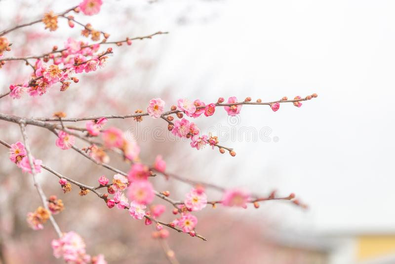 Вишневый цвет Сакура пинка выборочного фокуса в зимнем времени Японии стоковое фото