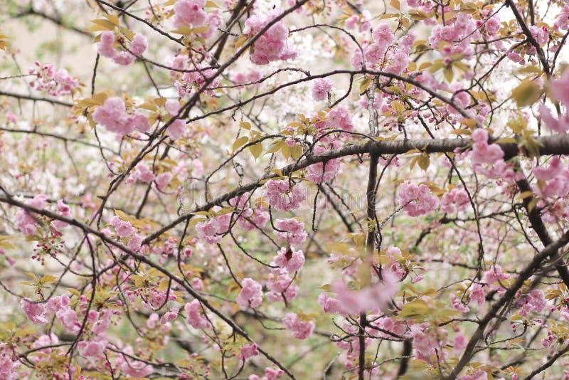 Вишневый цвет Сакура полного цветения на Киото Японии 2018 стоковые фото