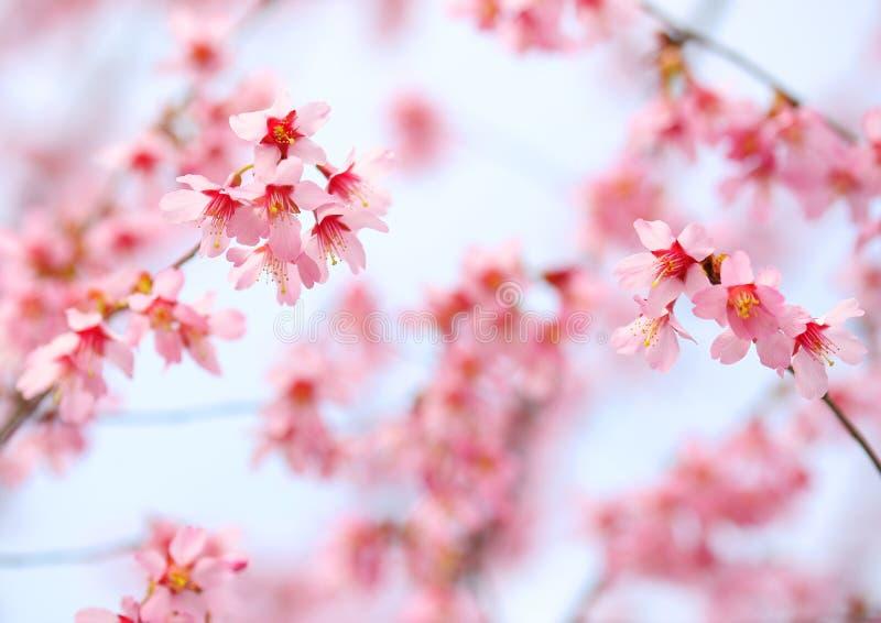 Вишневый цвет. Сакура стоковая фотография