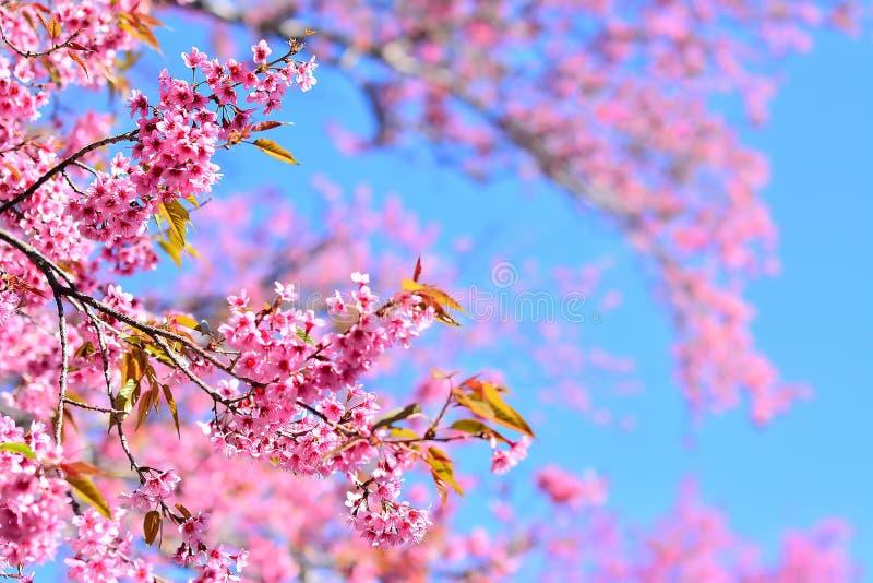 Вишневый цвет Сакуры стоковое изображение rf