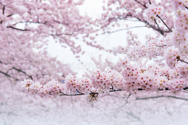 Вишневый цвет, сезон Сакуры в Корее, Backgroun стоковое фото rf