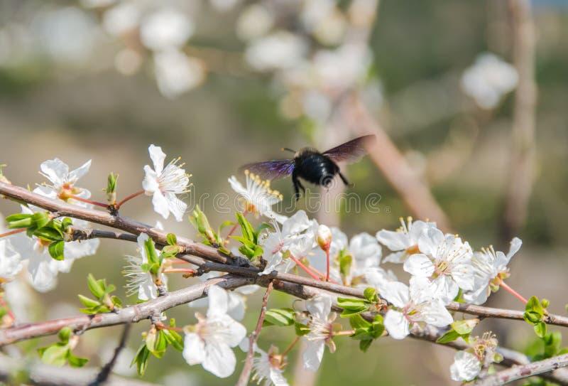 Вишневый цвет с пчелой стоковое изображение
