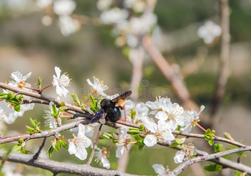 Вишневый цвет с пчелой стоковые фотографии rf