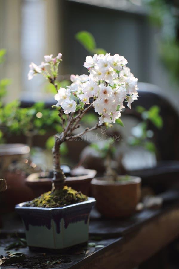 Вишневый цвет, цветок Сакуры стоковые изображения