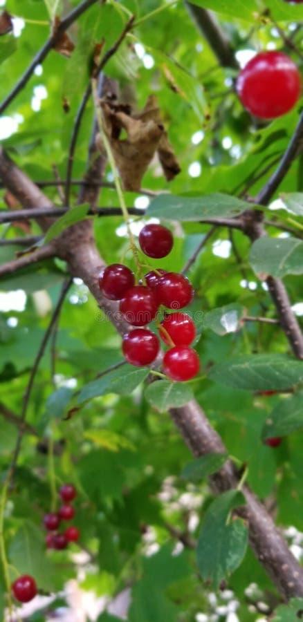 Вишниковые вишни стоковые изображения rf