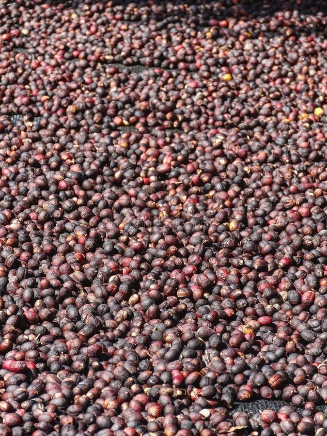 Вишни кофе лежа для того чтобы высушить на бамбуке подняли кровати в Boquete стоковое фото rf