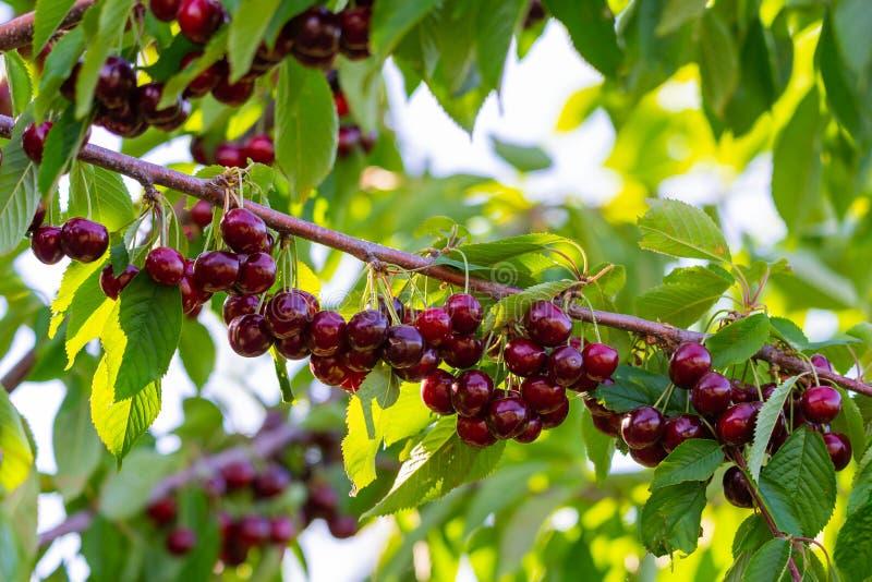 Вишни на ветви фруктового дерева в солнечном саде Пук свежей вишни на ветви в сезоне лета стоковые фото