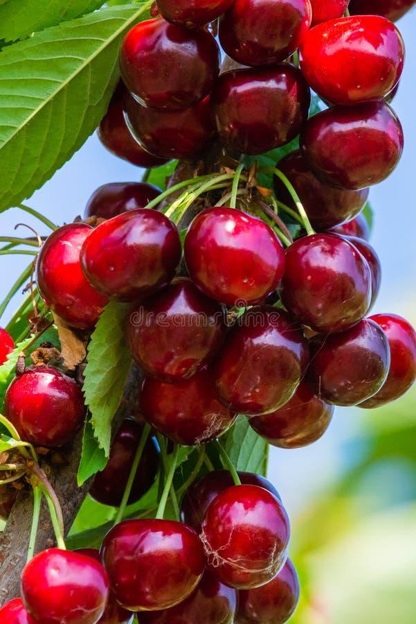 Вишни на ветви фруктового дерев дерева в солнечном саде Пук свежей вишни на ветви в сезоне лета стоковые фото