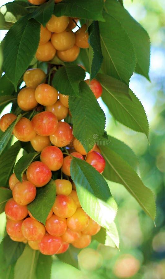 вишни незрелые стоковое фото