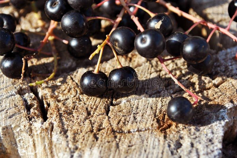 Вишня птицы padus сливы, hackberry, ветви hagberry, праздника Первого мая дерева с черными ягодами и листья на предпосылке коры с стоковая фотография rf
