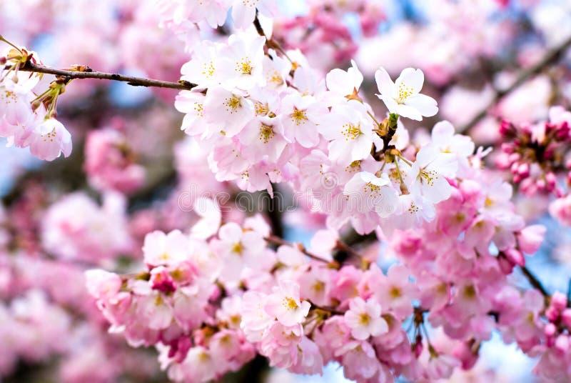 вишня цветений стоковое фото