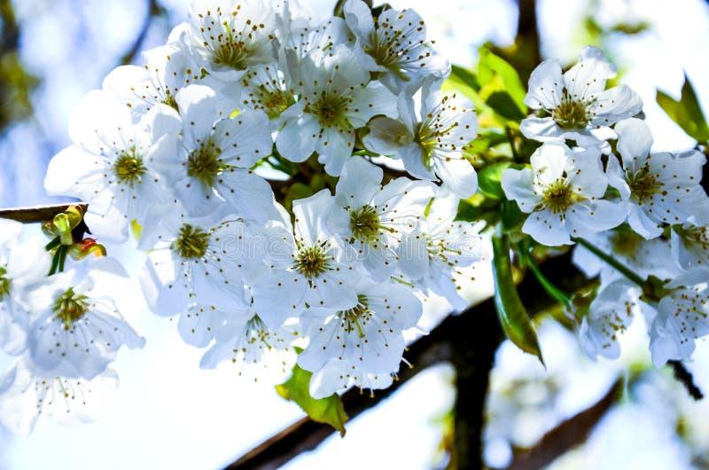 вишня 2 цветений стоковое фото rf