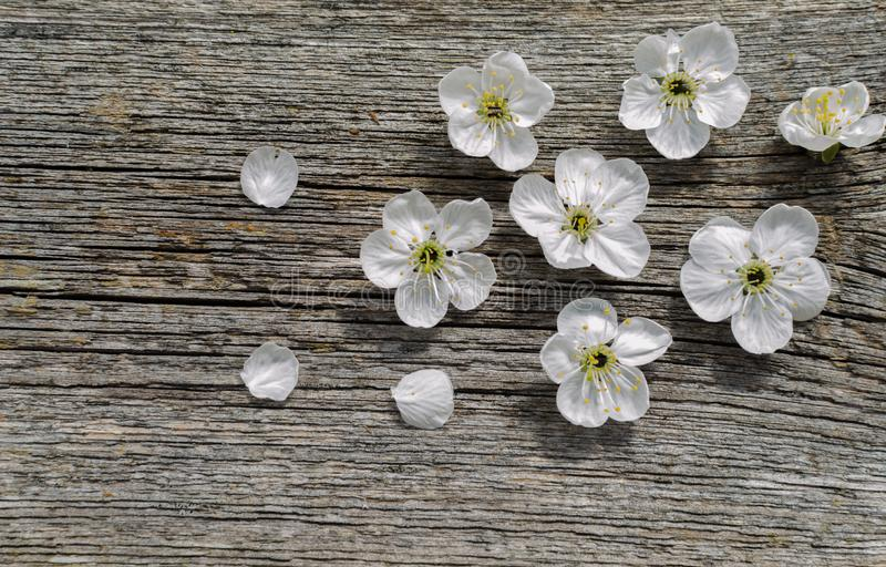 Вишня цветения весны над деревянной предпосылкой Цветки весны на деревянной предпосылке стоковое фото