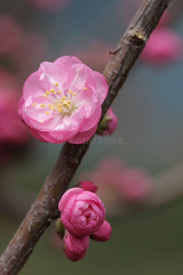 вишня цветения стоковое изображение rf