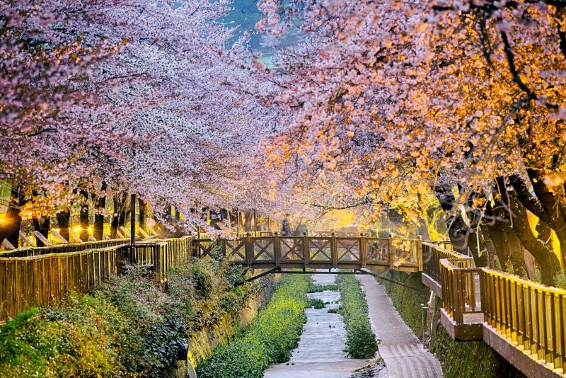 вишня sakura цветений стоковое фото rf