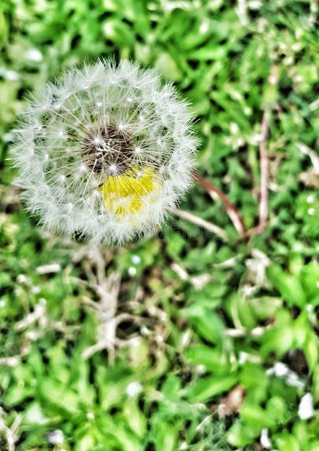 Видеть-через одуванчик цветка стоковое фото