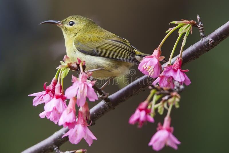 Вилк-замкнутое Sunbird стоковое фото rf