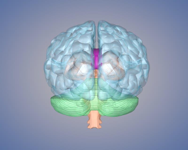 Вид сзади мозга стоковое изображение rf