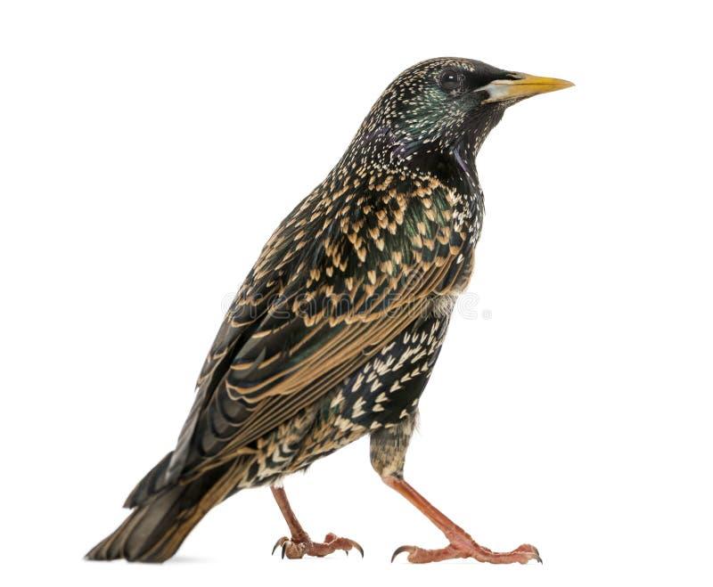 Вид сзади общего изолированного Starling, Sturnus vulgaris, стоковые изображения